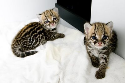 Ocelot kittens at 5 weeks