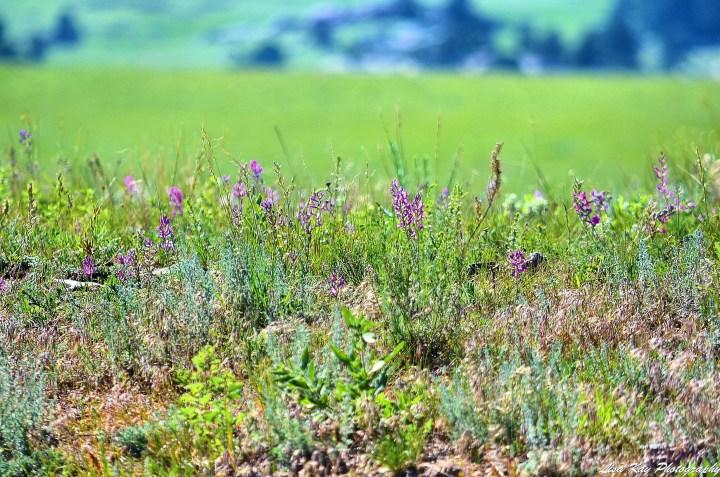LaramiePeakWildflowers