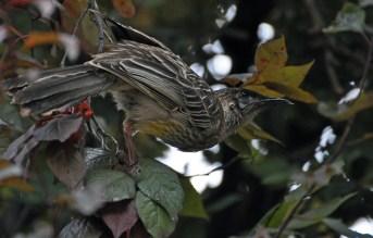 wattle bird 1