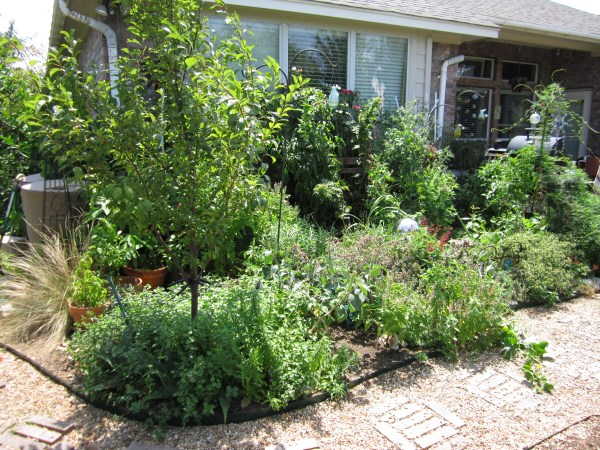 This is one of my herb and veggie beds and I have barrels on either side for easy access.
