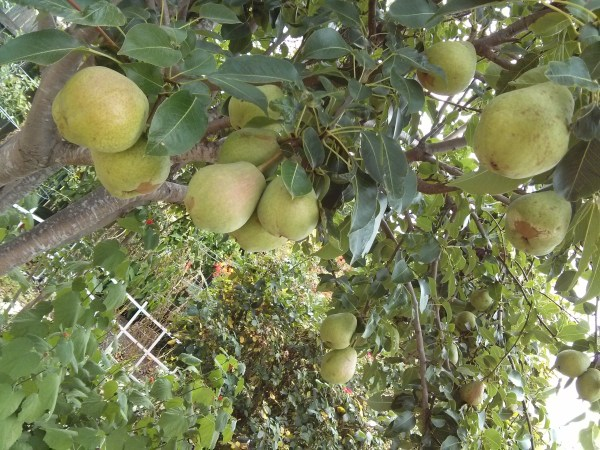 Kieffer Pear is a super Blight resistant, low water low maintenance pear tree that is super delicious, crisp and sweet.  Great for table and cooking!