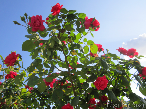 Blaze Climbing Rose, the gift that keeps on giving all year long.