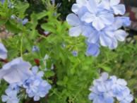 Blue Plumbago