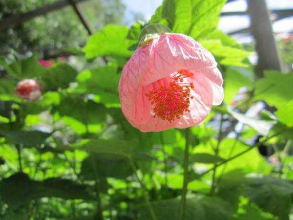 Abutilon Marilyns Choice
