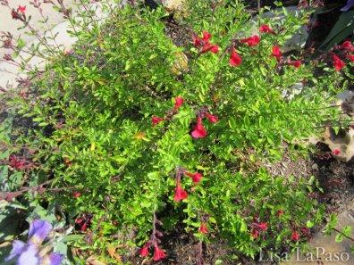 Furmans Red Salvia