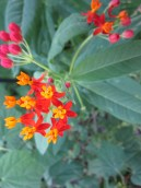 Tropical milkweed , Lisa LaPaso