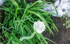 Allium Family, onion, garlic, chives all bloom in unique ways.