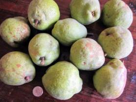 Keiffer pear tree, lisa lapaso