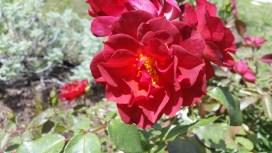 Cinco De Mayo Rose, Lisa LaPaso
