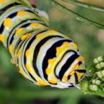 Easter Black Swallowtail, lisa LaPaso