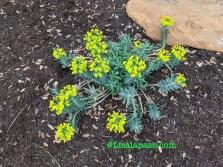 Gopher plant euphorbia