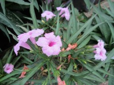 Pink Dwarf Ruellia