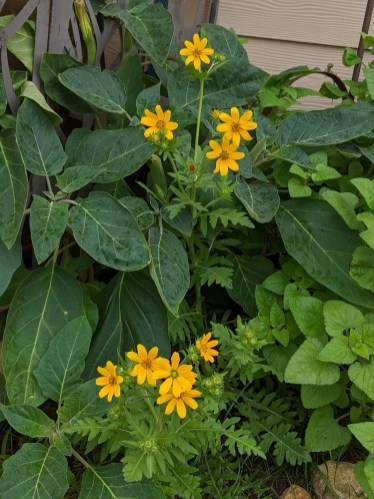 Engelman's daisy