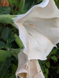 Moonflower Datura