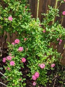 Peggy Martin climbing rose