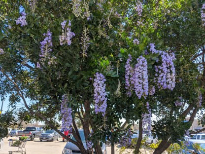 Mountain laurel tree