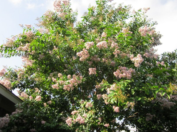 crepe myrtles flowering xeriscape