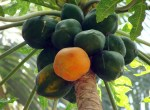 Tasty Tuesday|4 WAYS TO USE PAPAYA FOR HEALTH| Herbal Goodness