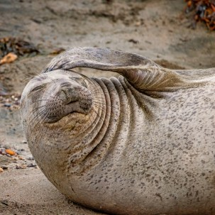 Elephant Seal Head Scratch © 2018 Lisa Marun