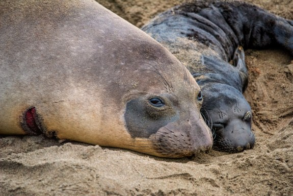 This determined northern elephant seal mother gave birth less than two hours earlier after having recently survived a shark attack. © 2018 Lisa Marun