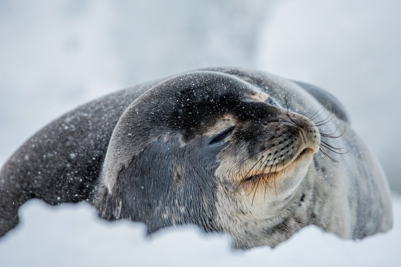 The effects of climate change on Weddell seals' habitat in Antarctica may make them particularly vulnerable. © Lisa Marun