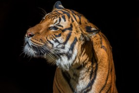 Malayan tigers (Panthera tigris jacksoni) are Critically Endangered. © Lisa Marun