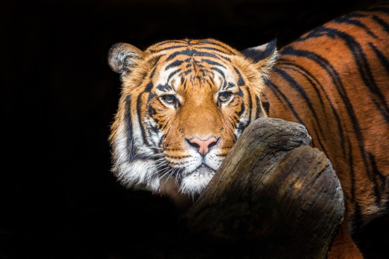 Malayan tigers need your help! © Lisa Marun
