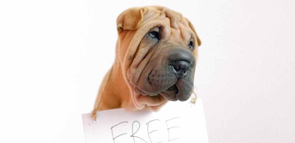 sharpei puppy wearing free hugs sign