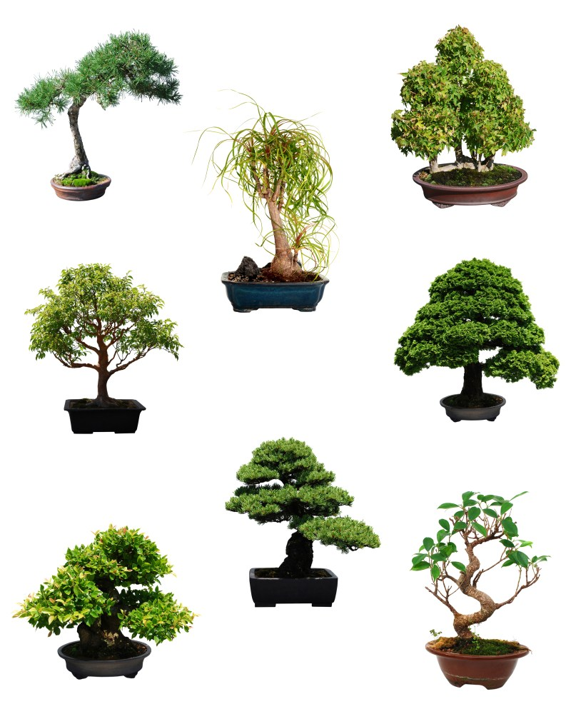 bonsai selection types