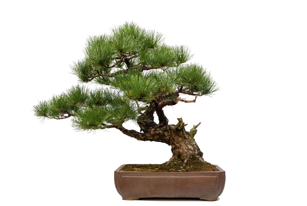 semi cascade bonsai blog