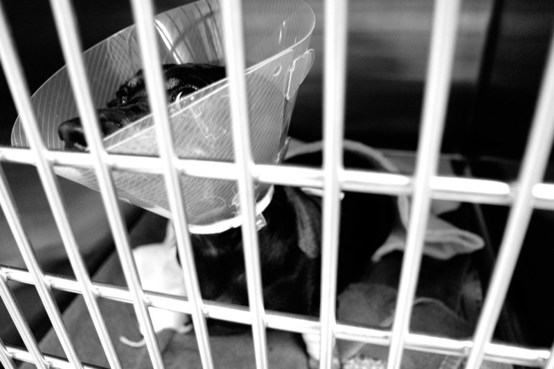 Blue, a dachshund, sits in her cage waiting to be picked up after her surgery. Blue was attacked by a larger dog earlier in the day.