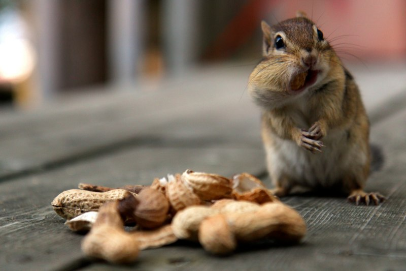 A chipmunk pauses between shoving peanuts into its cheeks on a cottage deck in Lake of Bays, Ontario, Canada. Chipmunks in the region have become very tame as the area grows into a tourist destination.