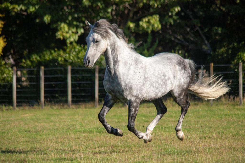 Equine portraits, cantering pony