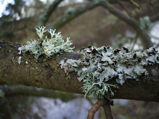 Lichen_on_Branch_Lisa_Rothwell_Young