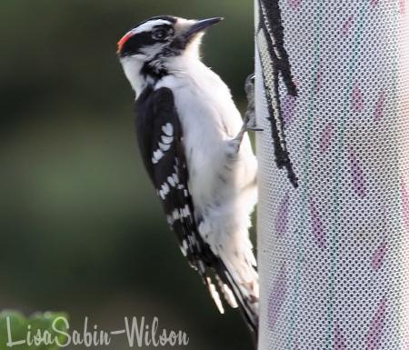 woodpecker photography birds