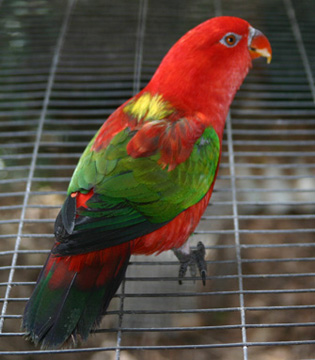 Red Lory, Chattering Lory, Lorikeet