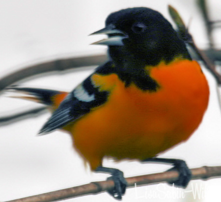 Oriole Bird Bird Watching