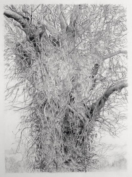Tree Ancient Decay Drawing