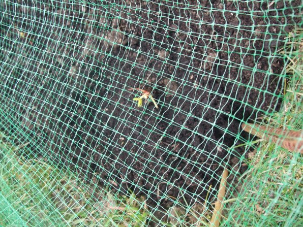 Netting over strawberry root plants