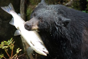 Black_bear_with_salmon