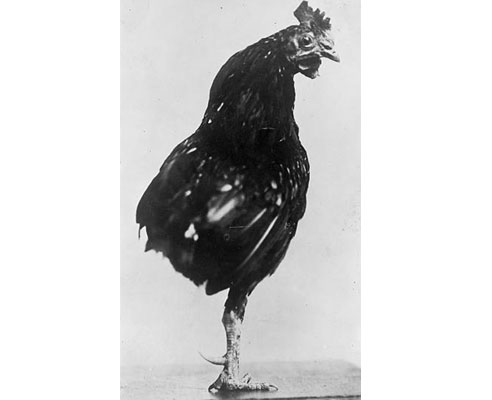 Teddy Roosevelt's one-legged rooster