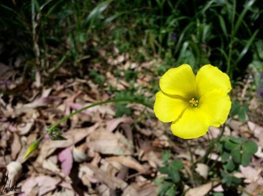 tn_fleur-jaune