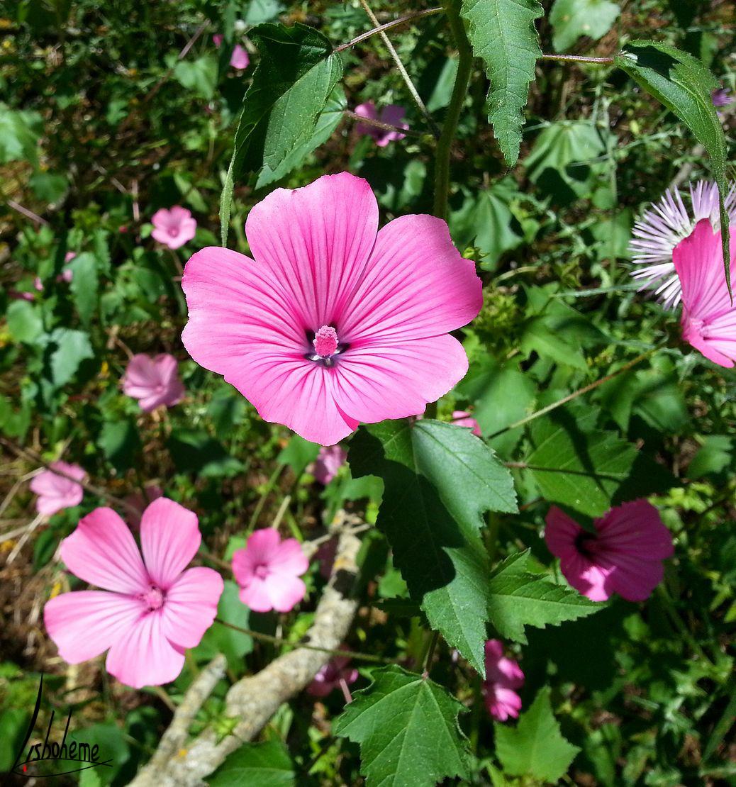 tn_fleur-rose