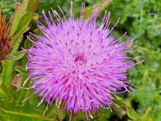 Fleur, Cap Espichel