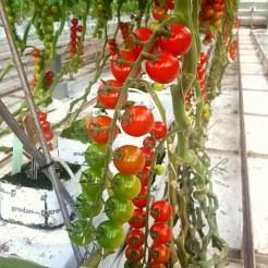 kleine cherry tomaten westlandse regenboog Lisette Schrijft