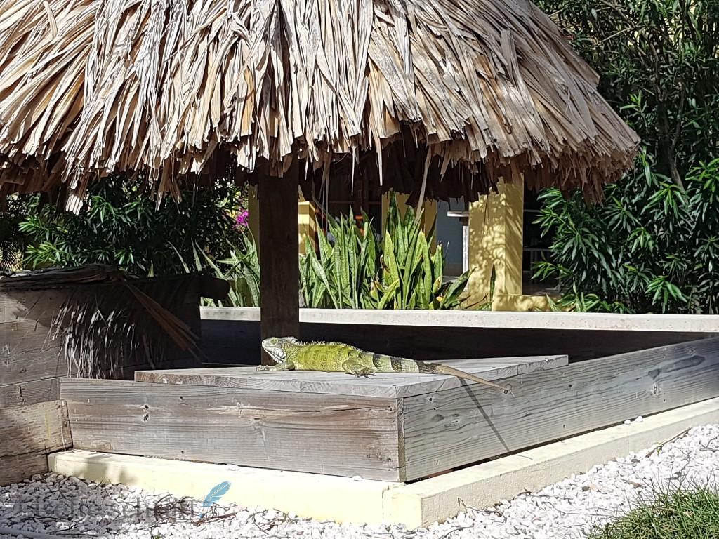 De luguanen op Kunuku Aqua Resort Lisette Schrijft
