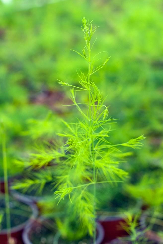 En liten aspargesplante. Foto: Lise von Krogh ©
