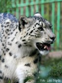 Snöleopard i Kirgisistan