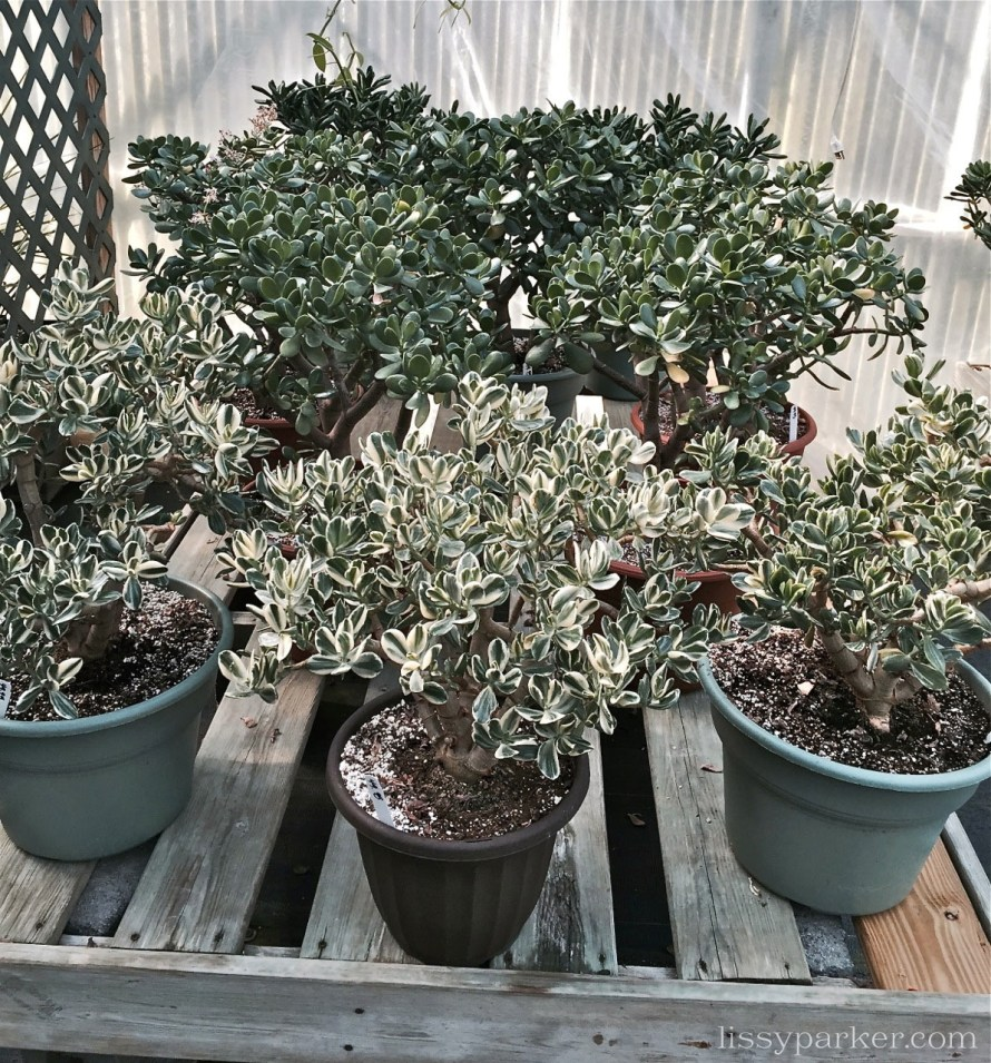 Jade plants from 6 inches to two feet tall