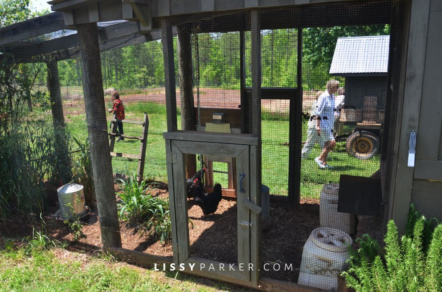 Climbing roses, rosemary and lavender surround the coop